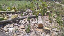 pohon jati di jambe Bangsri Plandaan Jombang ditebang orang