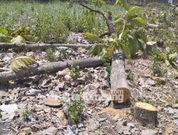 Belasan Pohon Jati di Bangsri Jombang Ditebang Orang Tak Dikenal, Pemilik Geram