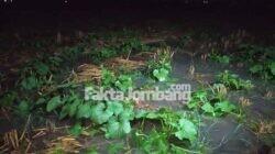 tanaman blewah di Plandaan Jombang